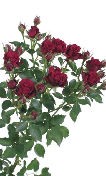 фото спрей розы